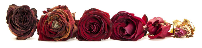 Life of a red rose Royalty Free Stock Photography