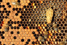 Life and reproduction of bees Royalty Free Stock Images