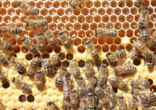 Life and reproduction of bees. Royalty Free Stock Photos