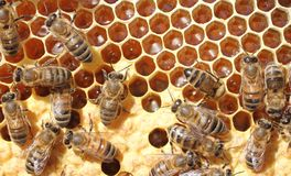 Life and reproduction of bees Stock Photos