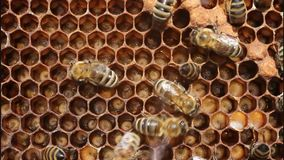 Life and reproduction of bees stock footage