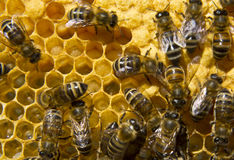 Life and reproduction of bees Royalty Free Stock Photos
