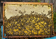 Life and reproduction of bees. Royalty Free Stock Images