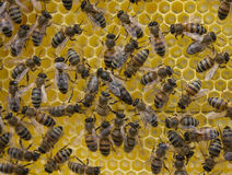 Life and reproduction of bees. Queen Bee and bees. Royalty Free Stock Photo