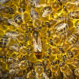 Life and reproduction of bees.Queen bee lays eggs in the honeyco Stock Images