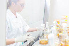 Life science researcher grafting bacteria. Royalty Free Stock Photos