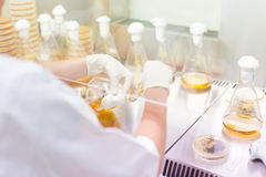 Life science researcher grafting bacteria. Royalty Free Stock Image
