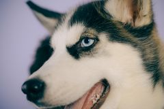 Life is short, play with your dog. Husky with blue eyes and wolf like look. Husky dog. Cute pet dog. Siberian husky is a. Beautiful purebred dog breed. Pet care stock images