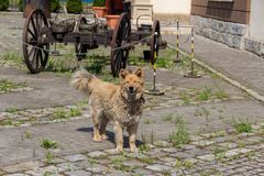 He dog is guarding the body of an old rusty cart royalty free stock photography