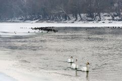 Life on the snow covered frozen Tisza river in winter. Hungarian countryside. Swimming swans and mallards in the water. Stock Image