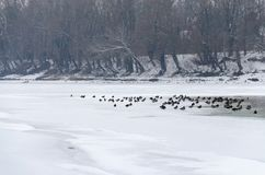 Life on the snow covered frozen Tisza river in winter. Hungarian countryside. Swimming swans and mallards in the water. Life on the snow covered frozen Tisza Royalty Free Stock Photos