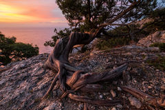 Life and struggle of an old juniper tree. Sunrise. An old juniper's bent trunk with naked roots. It grows in the juniper grove on the slopes of the Crimean Royalty Free Stock Images
