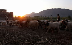 Life in Swat Valley, Pakistan. Shepherd leads his goats along the road during sunset in Mingora, the main town of Swat Valley, Northern Pakistan Stock Image