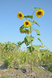 Life tall sunflower in wild closeup with yellow flowers royalty free stock photography