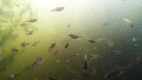 Life under water. Float of the fishes in the river stock video