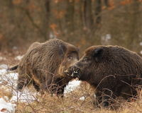 Life of wild boars Stock Photos
