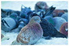 Life in winter. Morning with pigeons Royalty Free Stock Photo