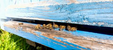 Life of Worker Bees. The Bees Bring Honey. Life of Worker Bees. The Bees Bring Honey royalty free stock images