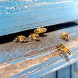 Life of Worker Bees. The Bees Bring Honey. Life of Worker Bees. The Bees Bring Honey royalty free stock photos