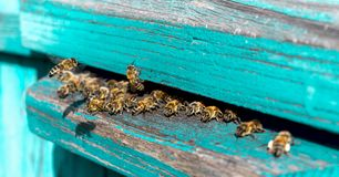 Life of Worker Bees. The Bees Bring Honey. Life of Worker Bees. The Bees Bring Honey stock photography