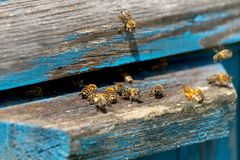 Life of Worker Bees. The Bees Bring Honey.  stock photography
