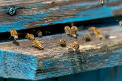 Life of Worker Bees. The Bees Bring Honey.  stock photos