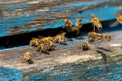 Life of Worker Bees. The Bees Bring Honey.  stock image