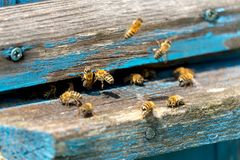 Life of Worker Bees. The Bees Bring Honey.  royalty free stock images