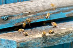 Life of Worker Bees. The Bees Bring Honey.  royalty free stock photos