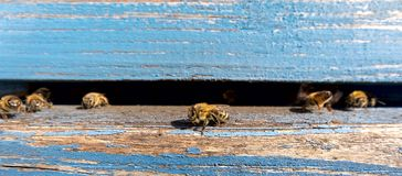 Life of Worker Bees. The Bees Bring Honey. Life of Worker Bees. The Bees Bring Honey royalty free stock photo