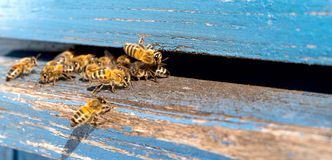 Life of Worker Bees. The Bees Bring Honey. Life of Worker Bees. The Bees Bring Honey stock photos