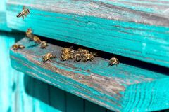Life of Worker Bees. The Bees Bring Honey. Life of Worker Bees. The Bees Bring Honey royalty free stock image