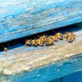 Life of Worker Bees. The Bees Bring Honey.  stock images