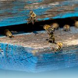 Life of Worker Bees. The Bees Bring Honey.  royalty free stock image
