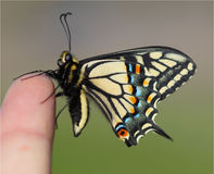 Life at your Fingertips, Anise Swallowtail Butterfly Stock Images