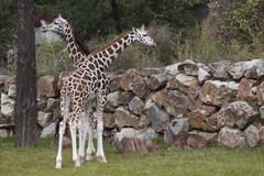 Life in zoo. The pair of giraffes approaching the greater kudus herdi in zoo Plzen, Czech Republic Royalty Free Stock Photos