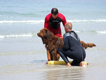 Lifeguard Dog. This dog is being trained by a lifeguard to rescue people in difficulty in the sea, a great example of teamwork between a man and an animal Royalty Free Stock Images