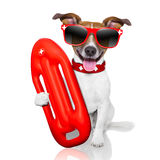 Lifeguard dog. Funny lifeguard dog with red  lifesaver buoy Royalty Free Stock Images