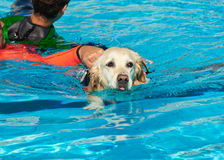 Lifeguard dog. Rescue demonstration with the dogs in the pool Stock Image