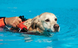 Lifeguard dog. Rescue demonstration with the dogs in the pool Stock Photo