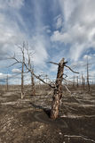 Lifeless desert landscape of Kamchatka: Dead wood (Tolbachik Vol Royalty Free Stock Photography