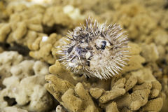 Lifeless dried puffer fish on a brown colored sea sponges. Poisoned dead fish Stock Photo