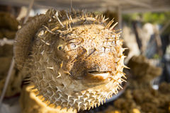 Lifeless dried puffer fish hung with rope at the fish market Stock Photo