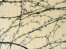 Lifeless dry twig of ivy Stock Images