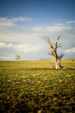 Lifeless Tree. A lone dead tree stands in a paddock with another living tree far off in the background royalty free stock image