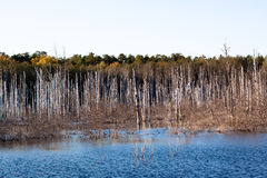 Lifeless trees in water Stock Image