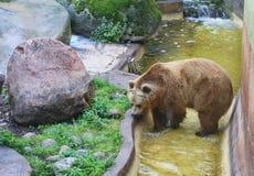 lifelike zoo för ambiancebjörn Arkivbild