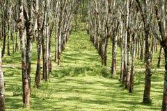 Lifes för den Rubber kolonin, bakgrund för den Rubber kolonin, gummiträd i Thailand gör grön bakgrund Royaltyfria Foton