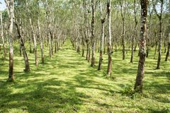 Lifes för den Rubber kolonin, bakgrund för den Rubber kolonin, gummiträd i Thailand gör grön bakgrund Royaltyfria Bilder