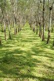 Lifes för den Rubber kolonin, bakgrund för den Rubber kolonin, gummiträd i Thailand gör grön bakgrund Arkivfoton